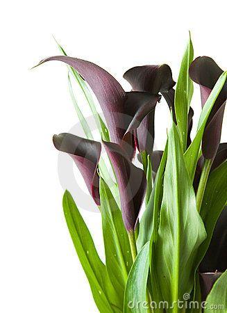 Dark Purple Black Calla Lily Plant Lily Plants Calla Lily Black Calla Lily