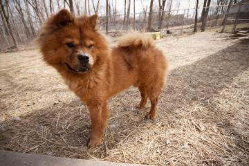 Thumper Red Rough Coat Neutered Male Chow Chow Humane League