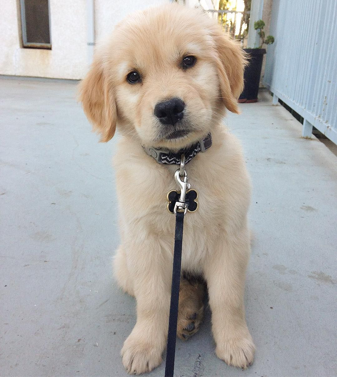 Louie The Golden Retriever On Instagram All About The Head