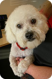 Roseville Ca Bichon Frise Shih Tzu Mix Meet Marcelle A Dog For
