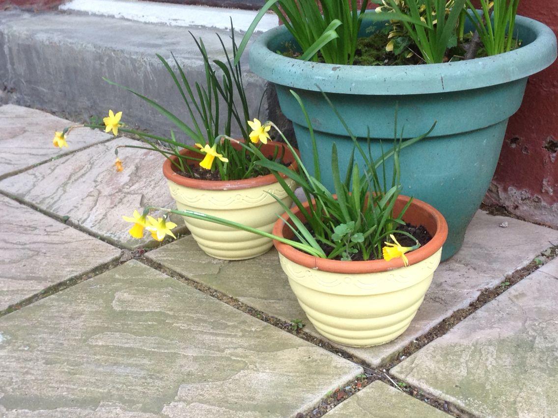 Terracotta Pots Painted in Ronseal Garden Paint Lemon Tree ...