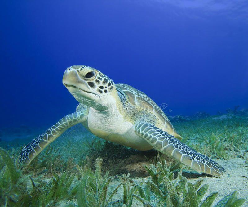 Green Sea Turtle. (Chelonia Mydas , #AFF, #Sea, #Green