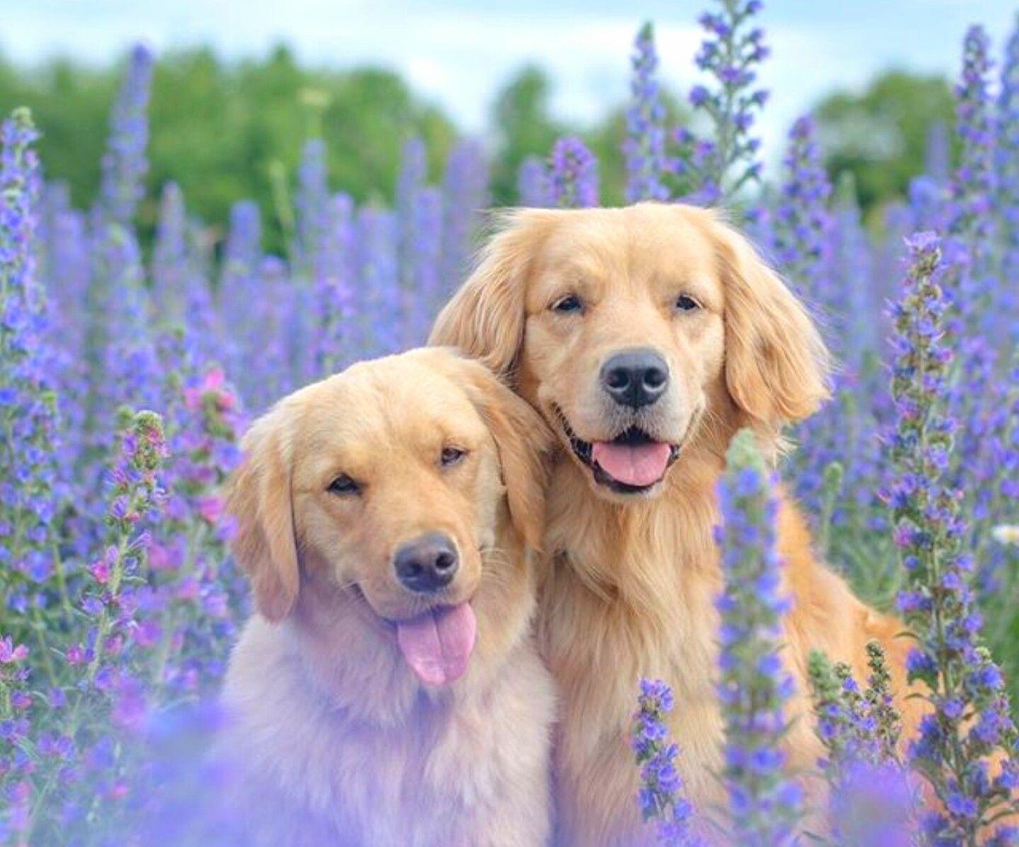 Golden Retrievers doggroominggoldenretriever My Hobby
