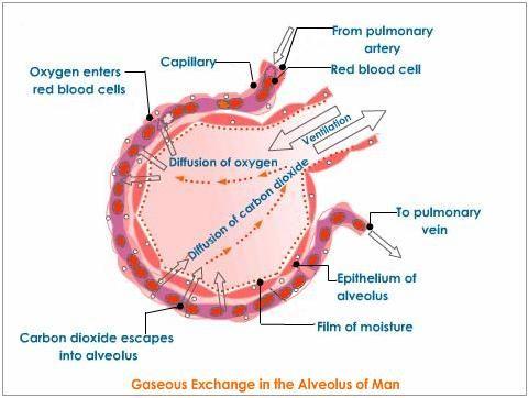 Diagram of alveoli bbc bitesize wiring circuit diagram of alveoli bbc bitesize images gallery ccuart Gallery