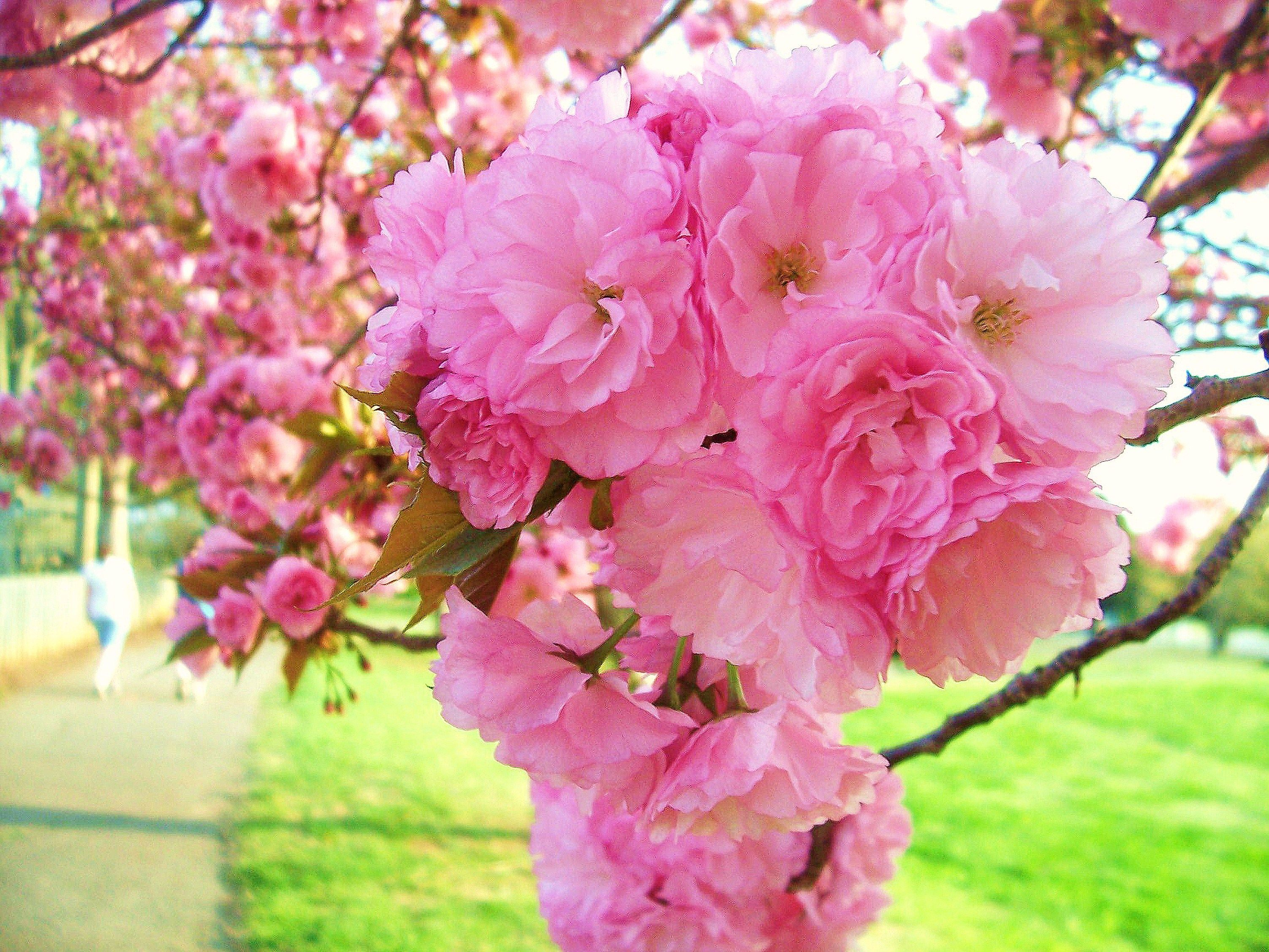 Kwanzan Cherry Blossoms God S Handywork Flowering Trees Cherry Tree Flowering Cherry Tree