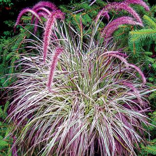 Cherry sparkler fountain grass light full sun to partial for Tall ornamental grasses for sun