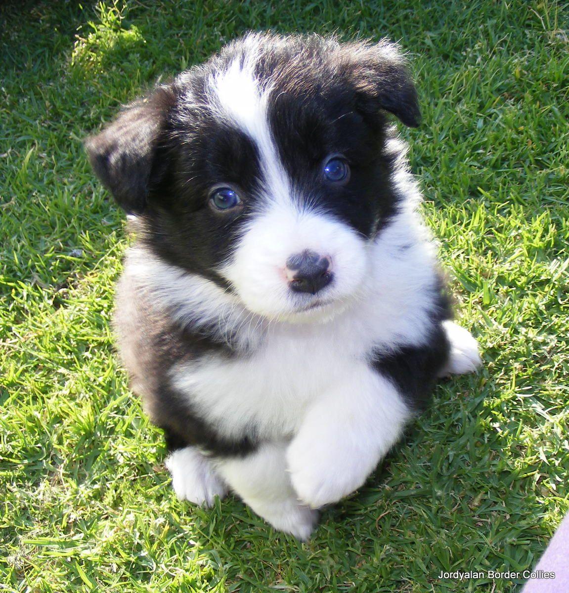 Border Collie - Herding Dog.