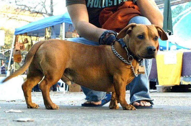 pitbull weiner dog