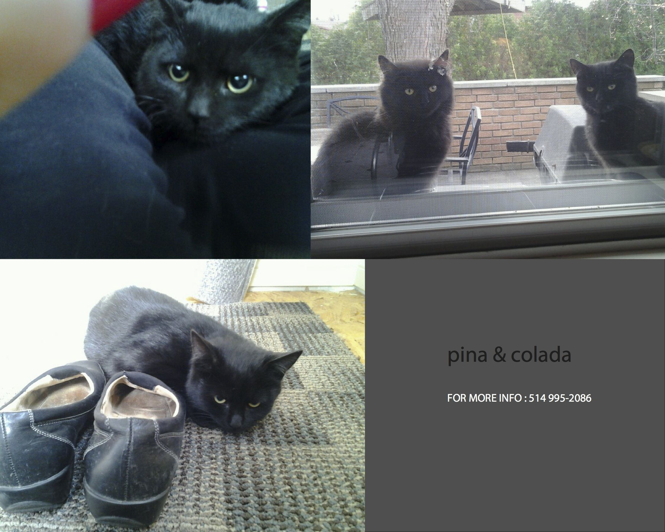 Urgent Foster Or Forever Home Needed For Pina And Colada In Montreal Www Facebook Com Cause4paws 3 Cat Adoption Animals Animal Rescue