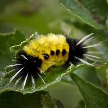 Fuzzy Black And Yellow Caterpillar Fuzzy Caterpillar Black Caterpillar Critter