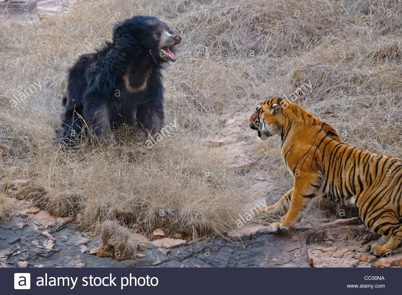 Sloth Bear Family (melursus Ursinus), Mother With Two Babies
