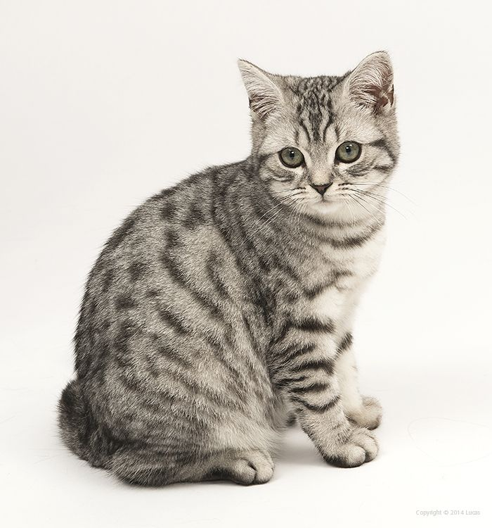 Tabby Cat Grooming Basics American Shorthair Cat British