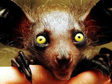They Come in Peace: Animals that Look Like Aliens! - AYE-AYE - Exotic Animals & Pets, Pet Photo Special : People.com