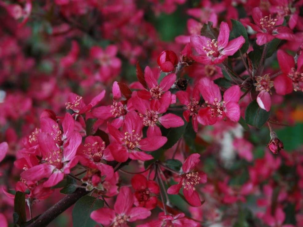 Jablon Rajska Royalty Najpiekniejsze Drzewa I Krzewy O Czerwonych Lisciach City Garden Plants Royalty