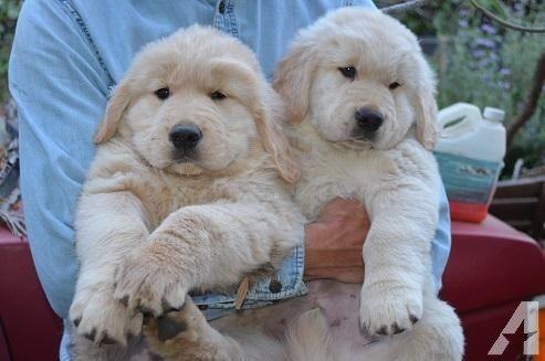 Akc Golden Retriever Male Puppy 9 Weeks Old White Golden