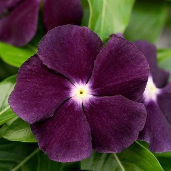 How to Grow Vinca Rosea/Periwinkle/Sadabahar Plant in Pots &amp- Care ...