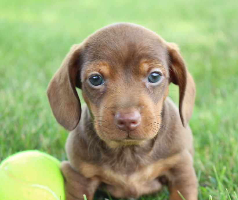 Howie A Male Akc Mini Dachshund Puppy For Sale In Shipshewana