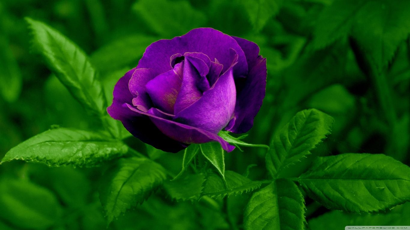 Hd wallpaper rose - Rose Rose Flower Wallpaper Hd