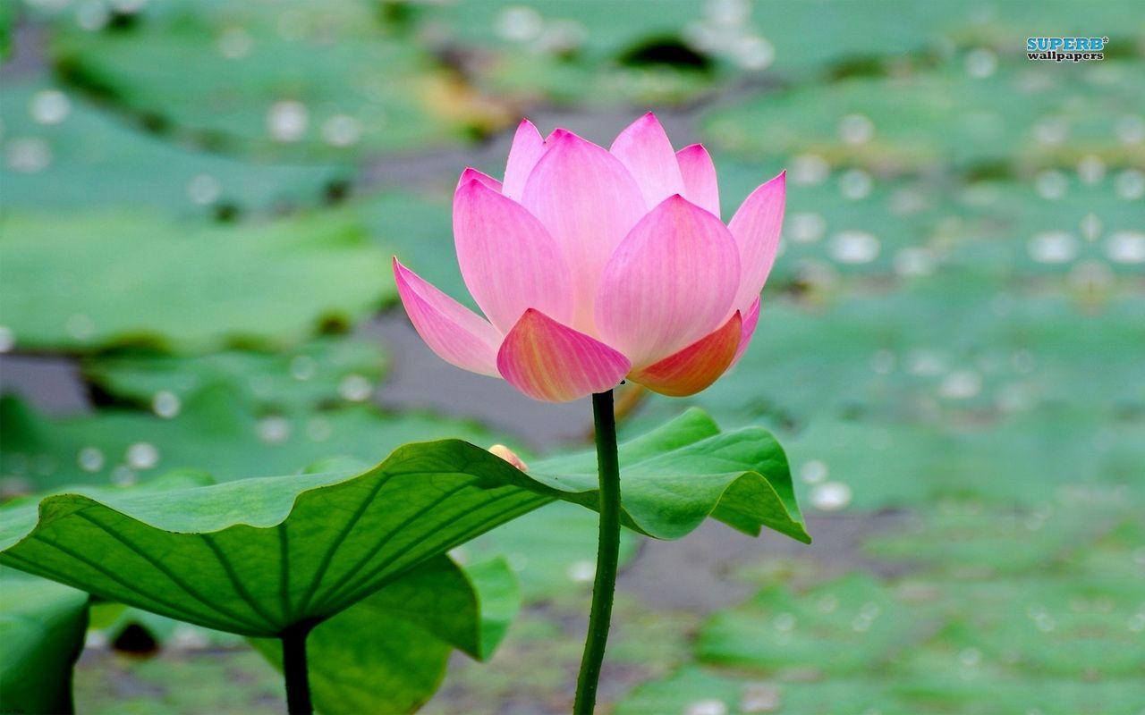Lotus flower wallpaper free download lotus flower wallpaper free lotus flower wallpaper free download lotus flower wallpaper free mightylinksfo