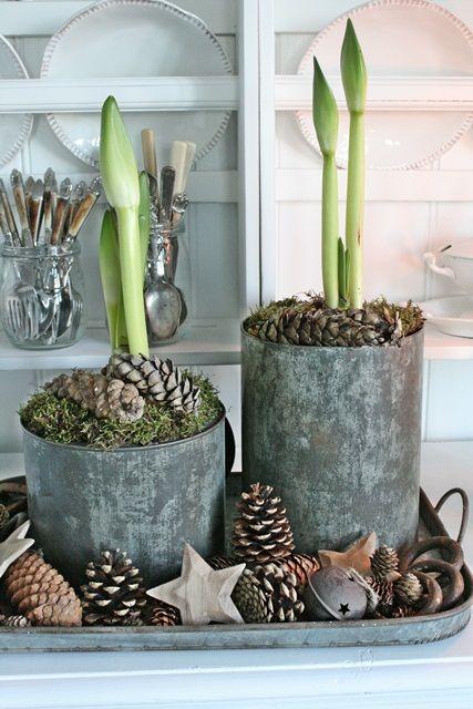 Georgeous amaryllis shoots vibeke design house plants for Amaryllis christmas decoration