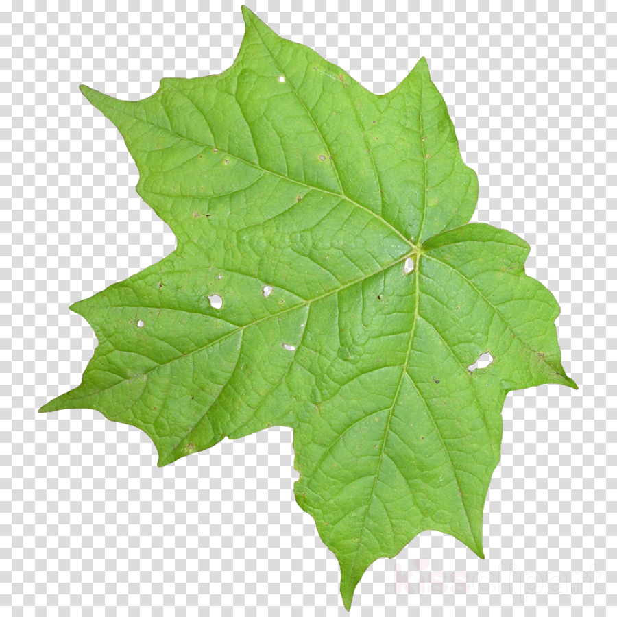 Vine Leaf Texture Clipart Texture Mapping Leaf Family Tree Background Leaf Texture Vine Leaves