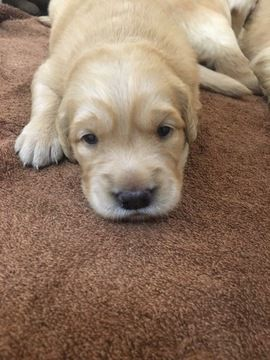 Litter Of 5 Golden Retriever Puppies For Sale In Suffolk Va Adn