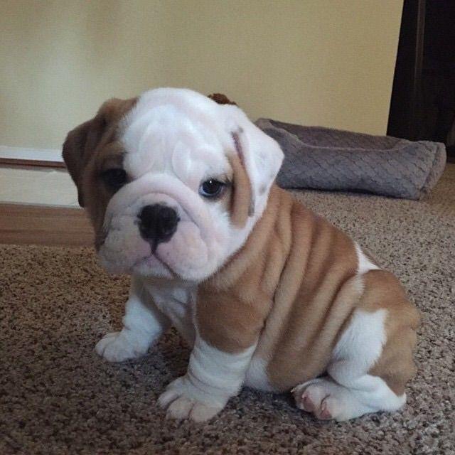Micro Cute Little Puppies Cute Baby Animals Cute Animals
