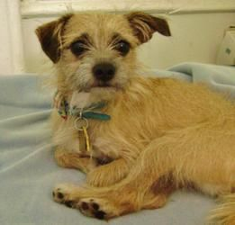 My Handsome Boy Milo Border Terrier X Pug X Jack Russel X Border