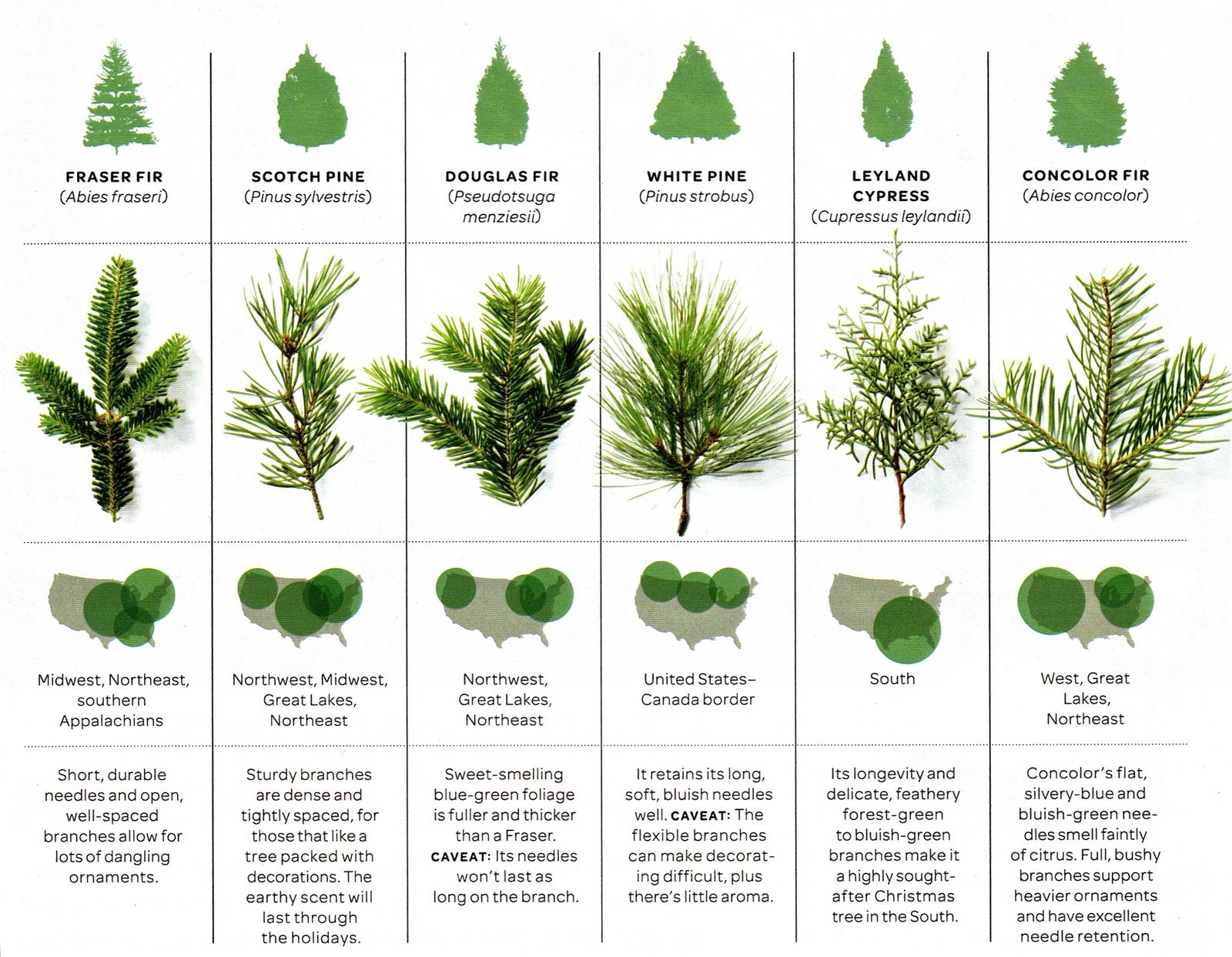 Great christmas tree guide and helpful for yard choices siembra great christmas tree guide and helpful for yard choices sciox Gallery
