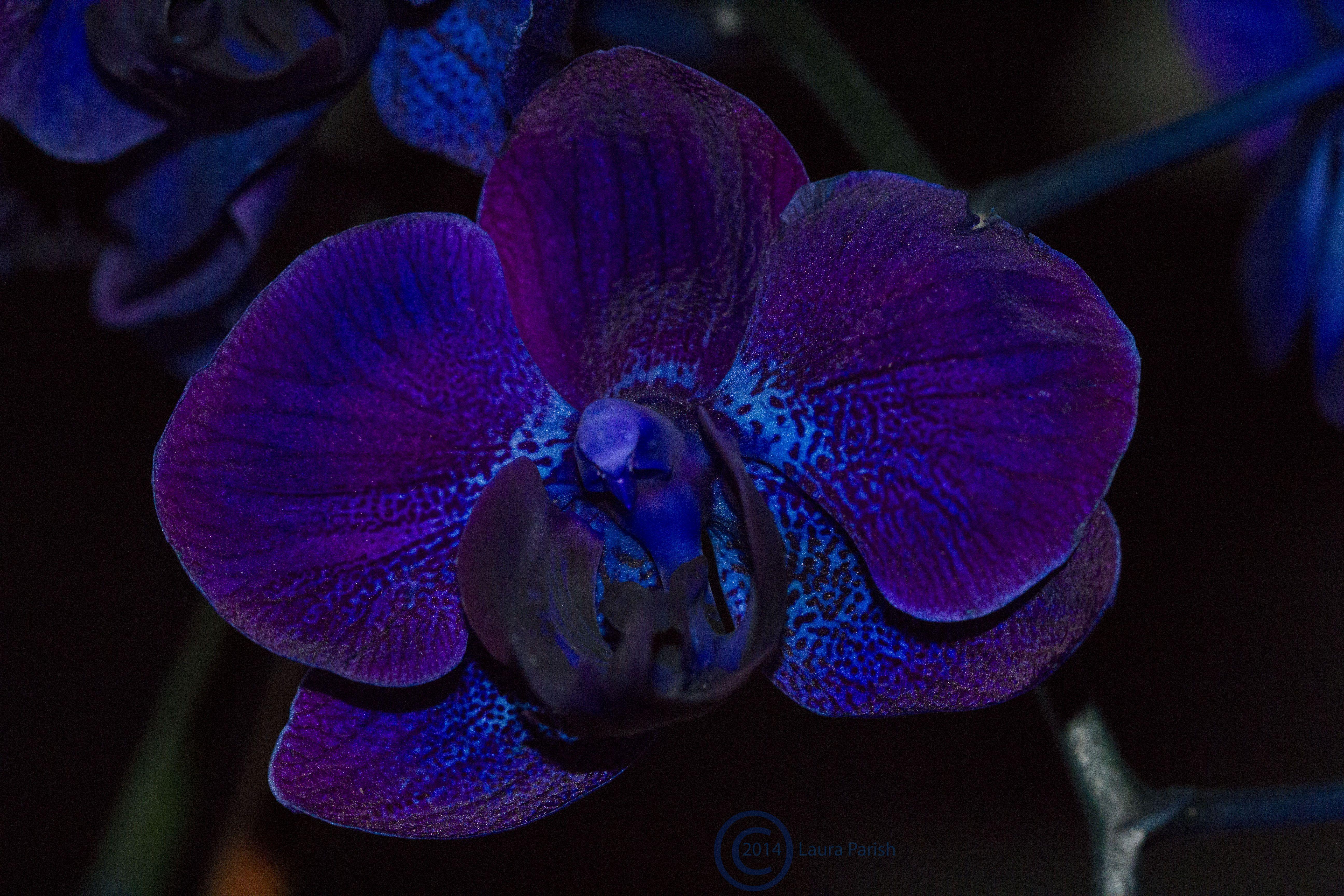 orchidee bleue montpellier
