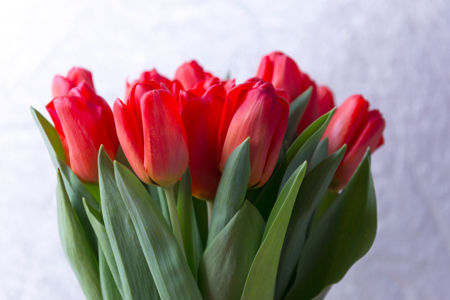 Learn All About Each Tulip Color Meaning Petal Talk Tulip Colors Red Tulips Tulips