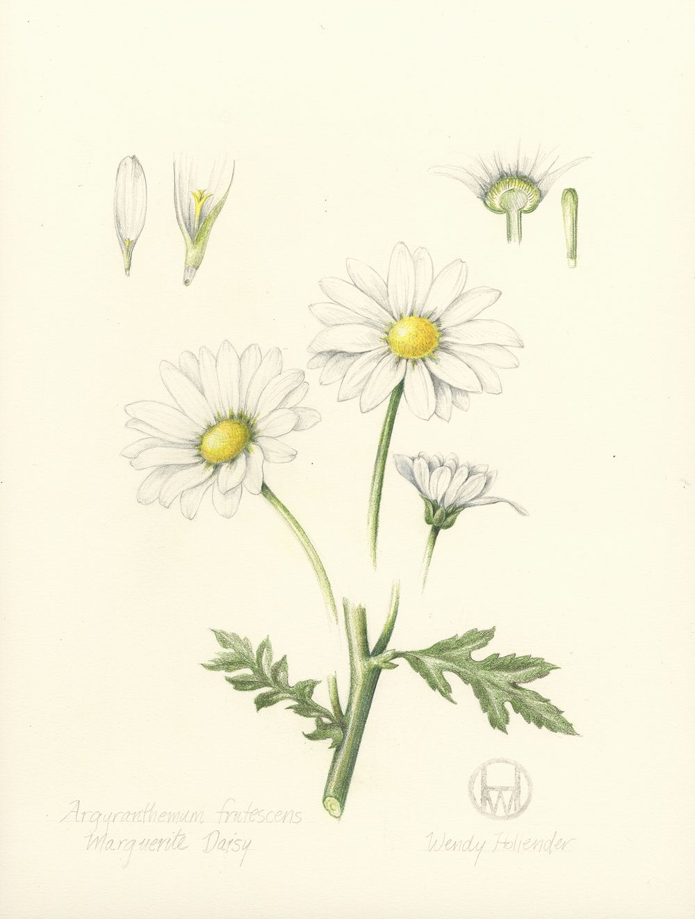 Daisy from the collection of botanical illustrations of flowers by daisy from the collection of botanical illustrations of flowers by wendy hollender izmirmasajfo