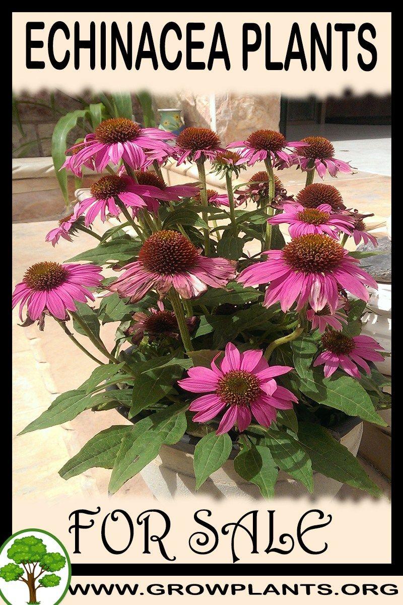 Echinacea Plants For Sale Echinacea Plants Plant Sale