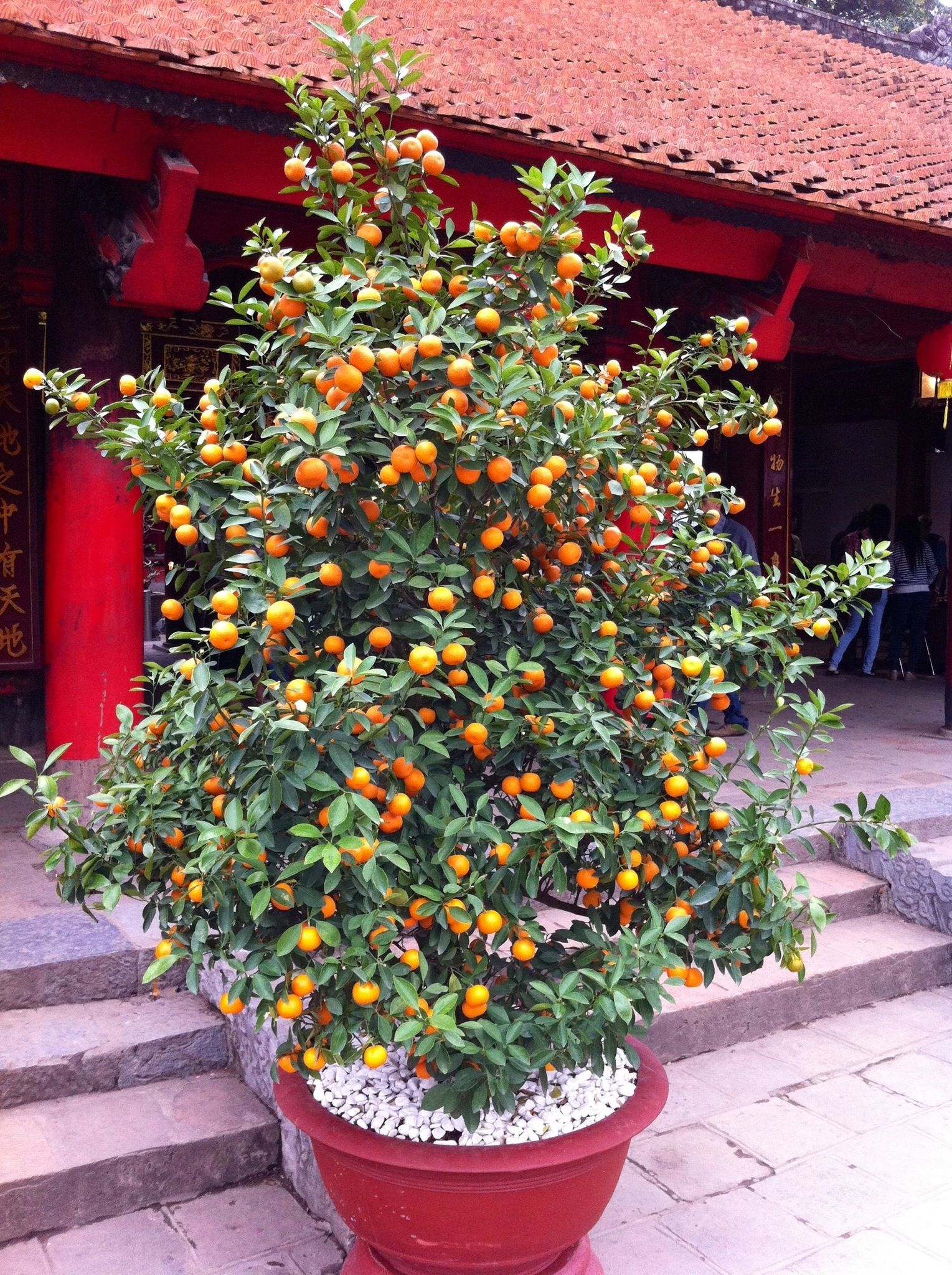 Golden Sweet Apricot Tree In Large Pot Gardening And