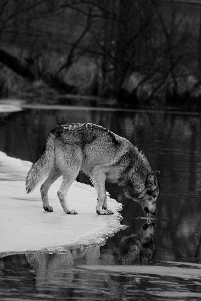 Wolf at a lake.