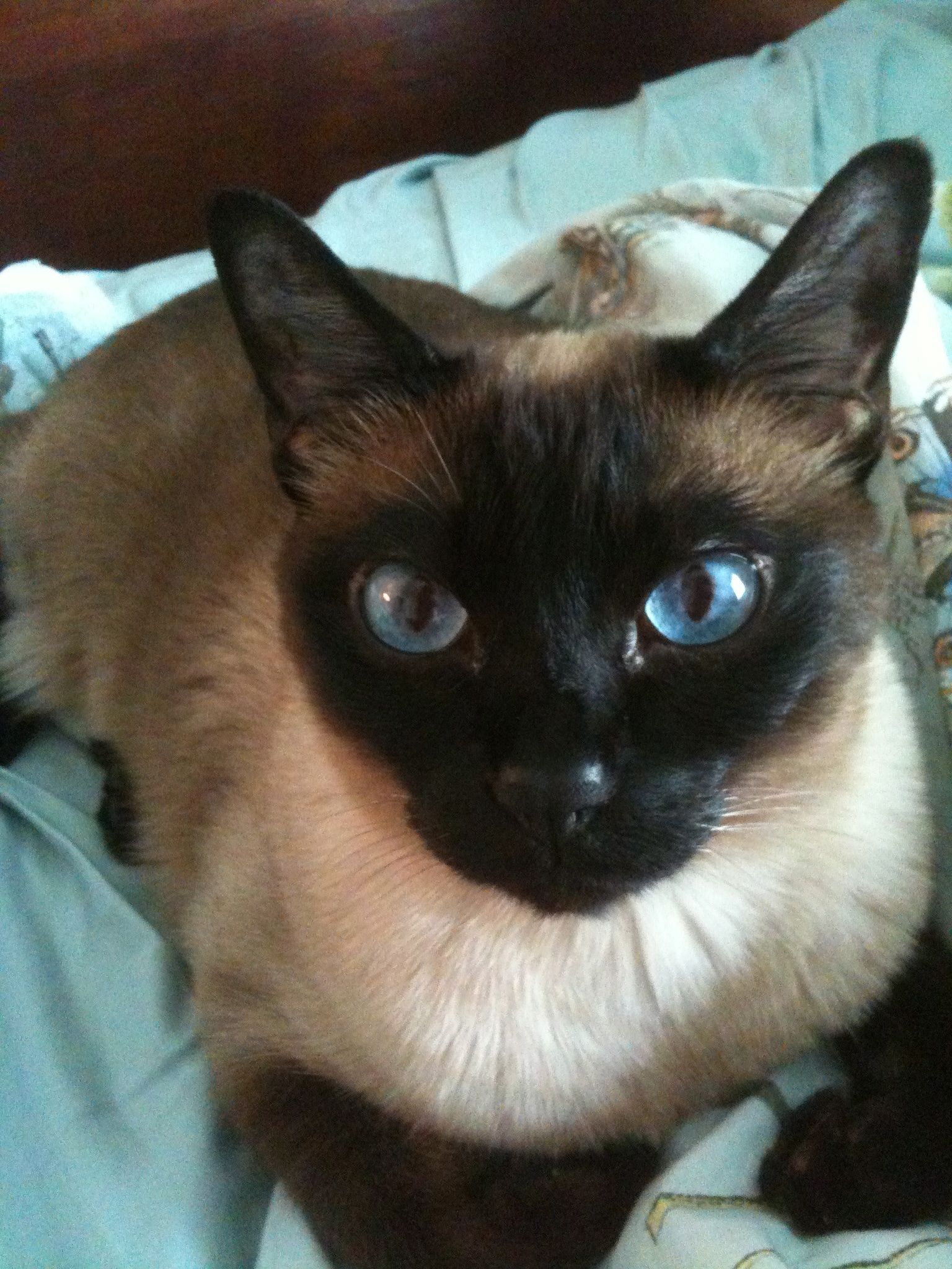 Sam My Beautiful Tonkinese Natural Point Boy Oriental Shorthair Cats Tonkinese Cat Cute Cats