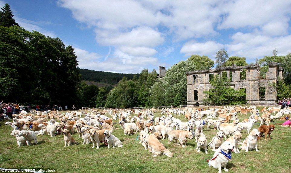 Forget 101 Dalmations 361 Golden Retrievers Floods Scottish Manor