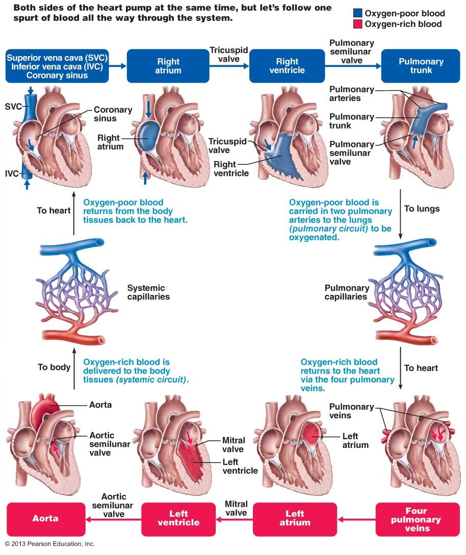 The Cardiovascular System | BIOL 141 | CPC CLASS | Pinterest ...