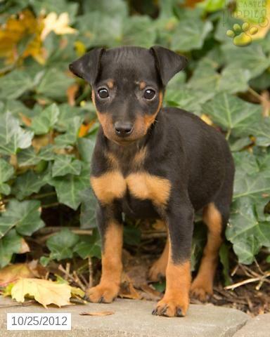 Toy King Black And Rust Miniature Pinscher Puppy Breeder 7