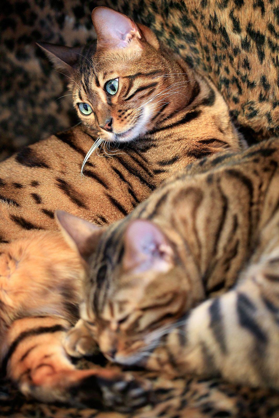 Bengal Cat Sisters Holmberg Bengal cat, Bengal