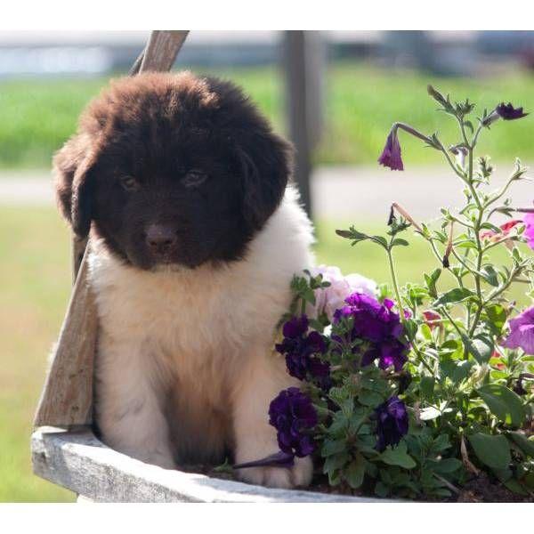 AKC Registered Newfoundland Puppy. A cute female Newfoundland puppy for sale in Sugarcreek, OH 44681.