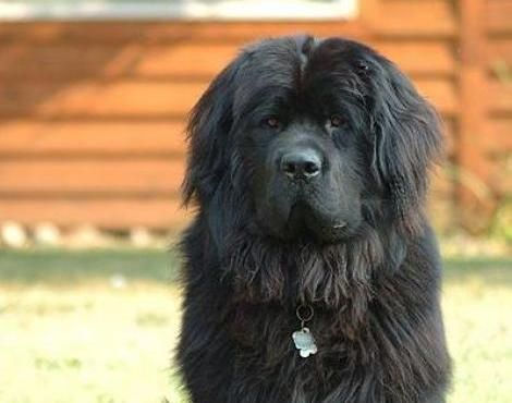 11 Big Fluffy Dog Breeds Perfect To Cuddle With Big Dog Breeds