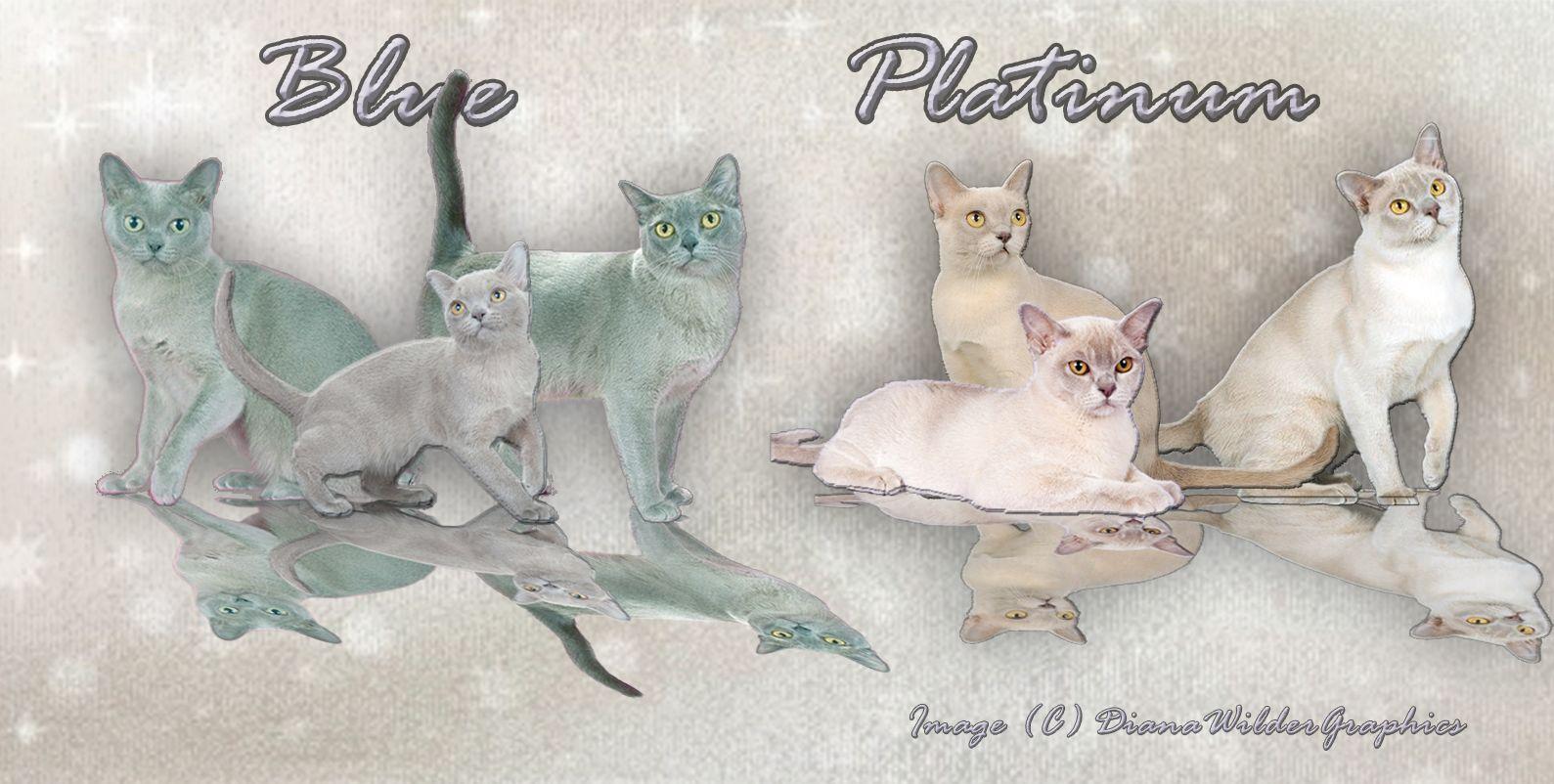 Colors Of Burmese Blue And Platinum Burmese Cat Burmese Bombay Cat