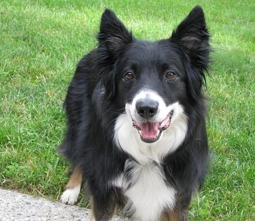 Dachshund Border Collie Mix Doggies Border Collie Border