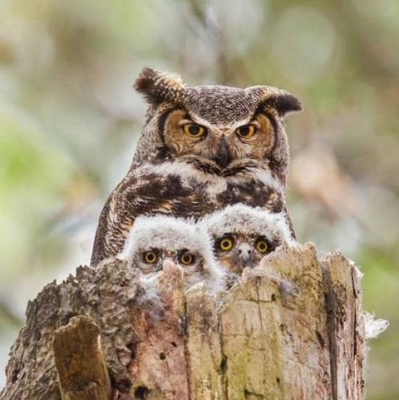 Mother and baby owls