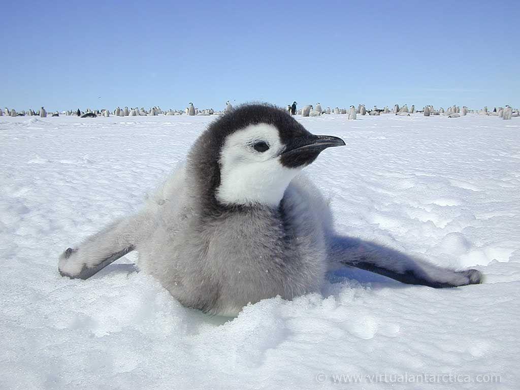 Emperor Penguin Wallpaper