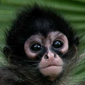 Spider Monkey Infant Animal Facts And Information | Spider