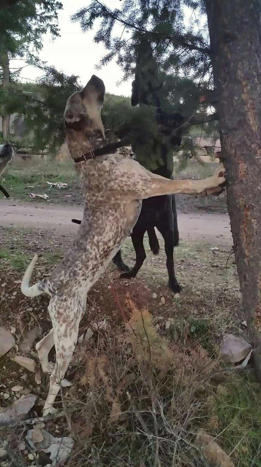 Dogo Argentino X Blue Gascon Mix Dogo Argentino Dogs Mutt