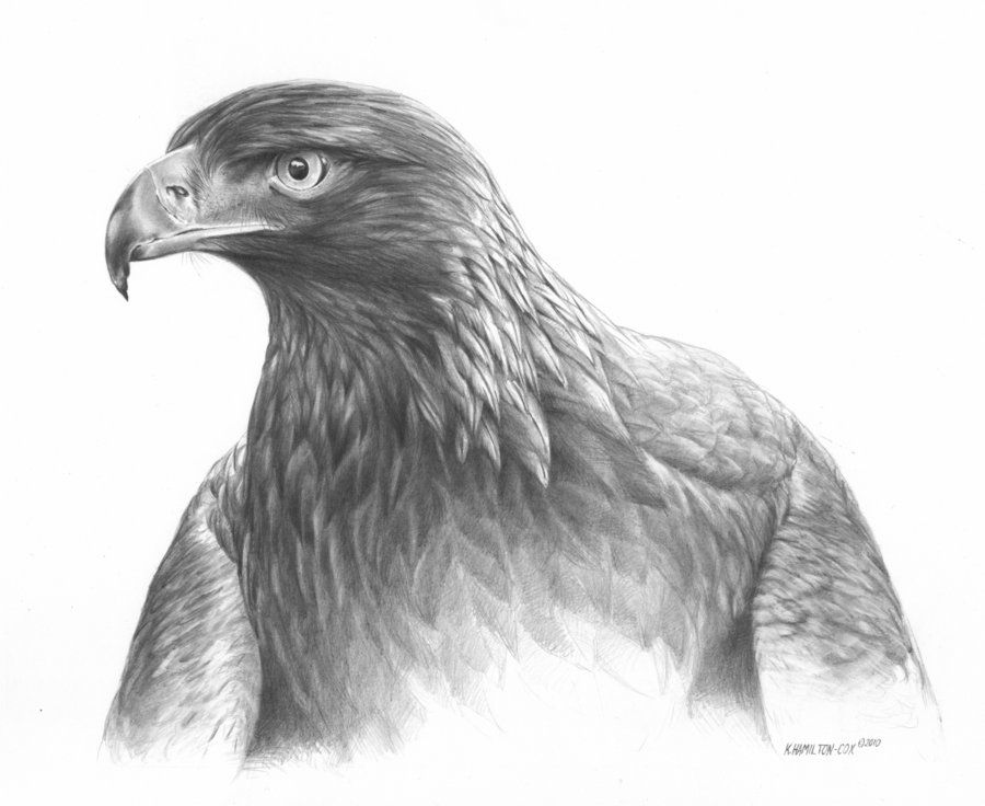 how to draw golden eagle
