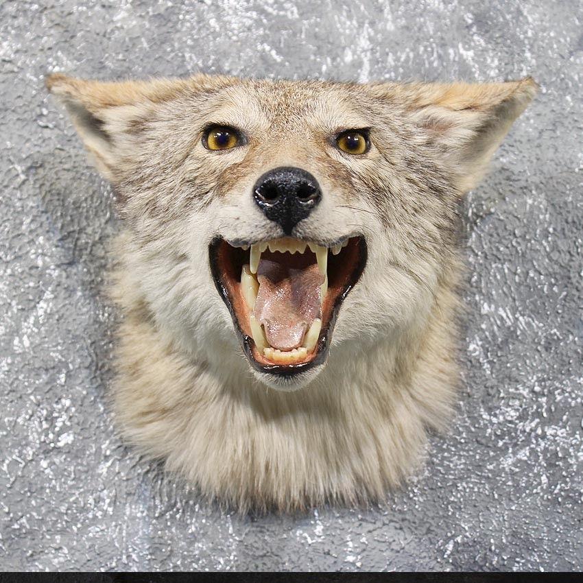 Taxidermy Coyote Head Taxidermy Animals Coyote